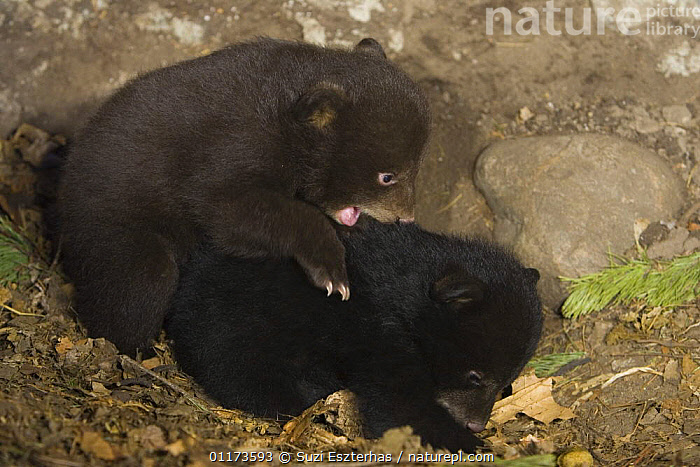 Black Bear (Ursus americanus) 7 weekcubs playing in den, one cub shows brown color phase while the other shows black color phase. Captive