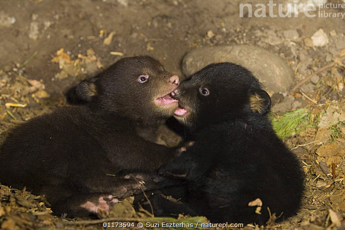 Black Bear (Ursus americanus) 7 week cubs playing in den. One cub shows brown color phase while the other shows black color phase. Captive, BABIES,BEARS,CARNIVORES,CUTE,MAMMALS,NORTH AMERICA,PLAY,VERTEBRATES,Communication, Suzi Eszterhas
