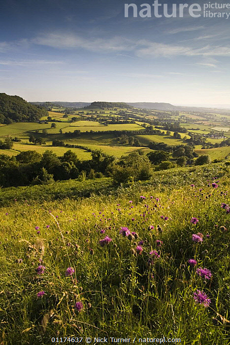 Iron age hill fort at Uley Bury on the Cotswold escarpment, Gloucestershire, England  ,  ANCIENT,ARCHAEOLOGY,COUNTRYSIDE,ENGLAND,EUROPE,FLOWERS,FORTS,HILLS,LANDSCAPES,MONUMENTS,OLD,RUINS,SUMMER,VERTICAL  ,  Nick Turner