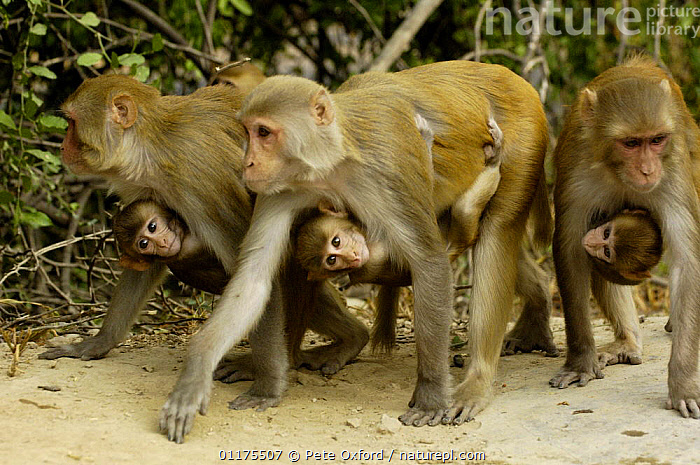 Rhesus Macaque (Macaca mulatta) females carrying young, Bharatpur National Park / Keoladeo Ghana Sanctuary, Rajasthan, India  ,  ASIA,BABIES,FAMILIES,FEMALES,GROUPS,INDIA,MACAQUES,MAMMALS,MONKEYS,PRIMATES,VERTEBRATES,Catalogue1,,UNESCO World Heritage Site,  ,  Pete Oxford