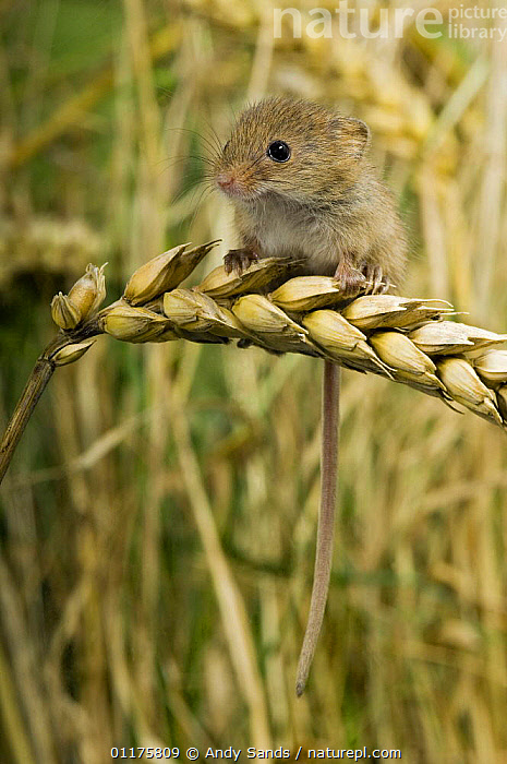 Harvest mouse {Micromys minutus} 2-week youngster sitting on ear of corn, captive, UK  ,  BABY,CUTE,EUROPE,MAMMALS,MICE,RODENTS,UK,VERTEBRATES,VERTICAL,YOUNG,United Kingdom,British,Muridae  ,  Andy Sands