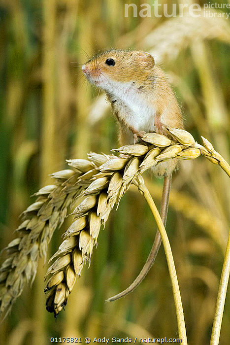 Harvest Mouse {Micromys minutus} perching on ear of corn, captive, UK  ,  EUROPE,MAMMALS,MICE,RODENTS,UK,VERTEBRATES,VERTICAL,United Kingdom,British,Muridae  ,  Andy Sands