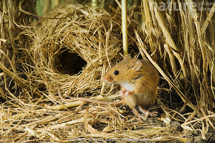 Nature Picture Library Harvest Mouse Micromys Minutus Outside Ground Nest In Corn Captive Uk Andy Sands
