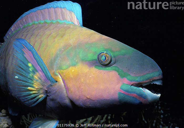 Bullethead Parrotfish (Scarus sordidus) portrait at night. Egypt, Red Sea.  ,  COLOURFUL, EYES, FISH, HEADS, MIDDLE-EAST, MOUTHS, NIGHT, TROPICAL, VERTEBRATES, MARINE, OSTEICHTHYES, PARROTFISH, PORTRAITS, PROFILE, RED-SEA, UNDERWATER  ,  Jeff Rotman