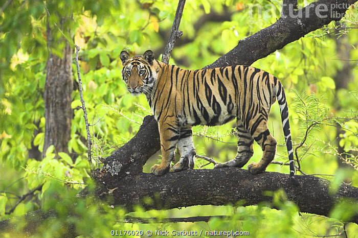 Tiger {Panthera tigris} 14-month Lakshmi cub in tree, Bandhavgarh National Park, India., BIG CATS,CARNIVORES,ENDANGERED,INDIA,MAMMALS,PORTRAITS,TIGERS,TREES,Plants, Nick Garbutt