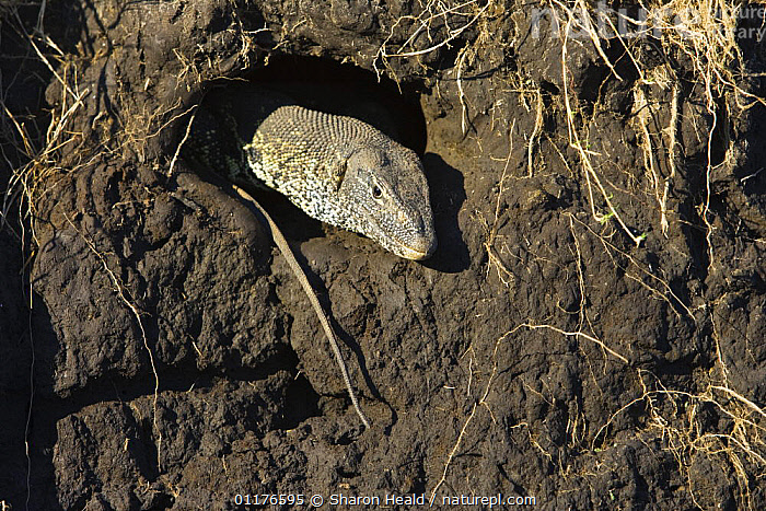 Water monitor lizard {Varanus niloticus} leaving nest after raiding bird nest in a riverbank, Chobe National Park, Botswana  ,  BEHAVIOUR,HEADS,LIZARDS,MONITOR LIZARDS,REPTILES,RESERVE,SOUTHERN AFRICA,VERTEBRATES, Monitors  ,  Sharon Heald