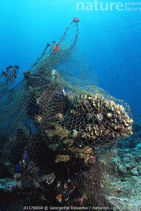 Fishing net caught on coral reef. Moluccas, Indonesia.  ,  CORAL REEFS,DAMAGE,ENVIRONMENTAL,FISHERIES,INDO PACIFIC,INVERTEBRATES,MARINE,POLLUTION,SOUTH EAST ASIA,TROPICAL,UNDERWATER,VERTICAL,Asia,Anthozoans, Cnidaria, Cnidaria, Cnidaria, Cnidaria  ,  Georgette Douwma