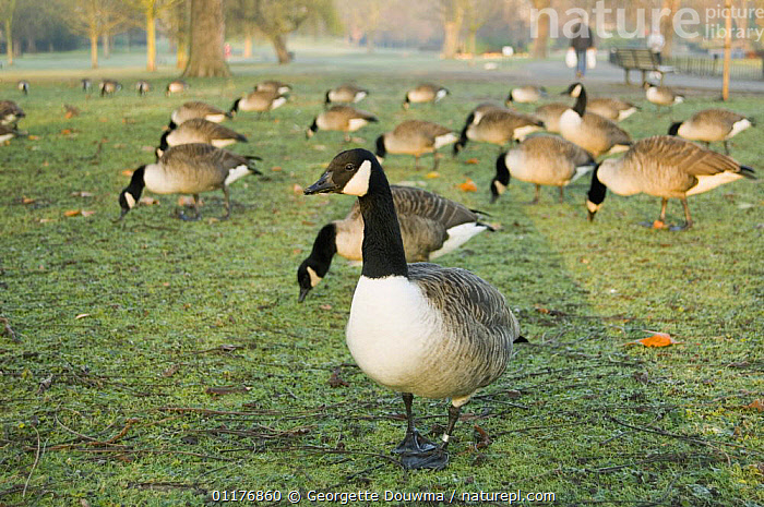Canada geese (Branta canadensis) grazing on grass in Regent's Park. London, UK.  ,  BIRDS,CITIES,EUROPE,FEEDING,GEESE,GROUPS,PARKS,PEOPLE,UK,URBAN,VERTEBRATES,WATERFOWL,WINTER,United Kingdom,British,Wildfowl,North America, waterfowl  ,  Georgette Douwma