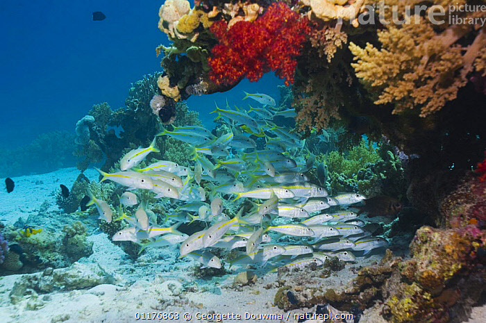 School of Yellowstripe goatfish (Mulloidichthys flavolineatus) on coral reef. Red Sea, Egypt.  ,  CORAL REEF,EYGPT,FISH,GOATFISH,GROUPS,MARINE,MIDDLE EAST,OSTEICHTHYES,RED SEA,TROPICAL,UNDERWATER,VERTEBRATES  ,  Georgette Douwma