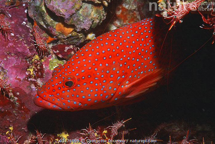 Coral hind (Cephalopholis miniata) with Hingebeak shrimps (Rhynchocinetes durbanensis). Andaman Sea, Thailand.  ,  FISH,GROUPERS,INDO PACIFIC,MARINE,MIXED SPECIES,OSTEICHTHYES,SOUTH EAST ASIA,SYMBIOSIS,THAILAND,TROPICAL,UNDERWATER,VERTEBRATES,Asia,Concepts,Partnership  ,  Georgette Douwma