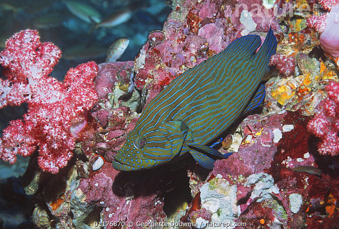 Bluelined hind (Cephalopholis formosa). Andaman Sea, Thailand.  ,  CORALS,FISH,GROUPERS,INDO PACIFIC,MARINE,OSTEICHTHYES,PORTRAITS,SOUTH EAST ASIA,THAILAND,TROPICAL,UNDERWATER,VERTEBRATES,Asia  ,  Georgette Douwma