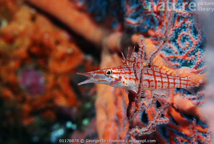 Longose hawkfish (Oxycirrhites typus) resting on Gorgonian coral. Red Sea, Egypt.  ,  CORALS,EYGPT,FISH,HAWKFISH,MARINE,MIDDLE EAST,OSTEICHTHYES,RED SEA,TROPICAL,UNDERWATER,VERTEBRATES  ,  Georgette Douwma