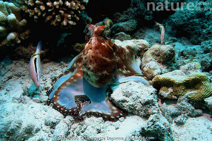 Common reef / Day octopus (Octopus cyanea) hunting over coral bed accompanied by watchful fish. Andaman Sea, Thailand.  ,  CEPHALOPODS,INDO PACIFIC,INVERTEBRATES,MARINE,MIXED SPECIES,MOLLUSCS,OCTOPUS,SOUTH EAST ASIA,THAILAND,TROPICAL,UNDERWATER,Asia, Molluscs  ,  Georgette Douwma