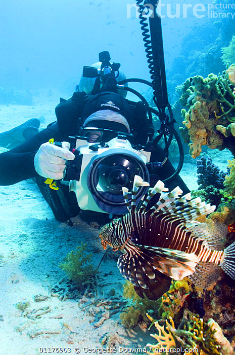 Lionfish (Pterois volitans) being photographed by underwater photographer, Red Sea, Egypt.  ,  DIVING,EYGPT,FISH,LIONFISH,MARINE,MIDDLE EAST,OSTEICHTHYES,PEOPLE,PHOTOGRAPHY,RED SEA,TOURISM,UNDERWATER,VERTEBRATES,VERTICAL  ,  Georgette Douwma