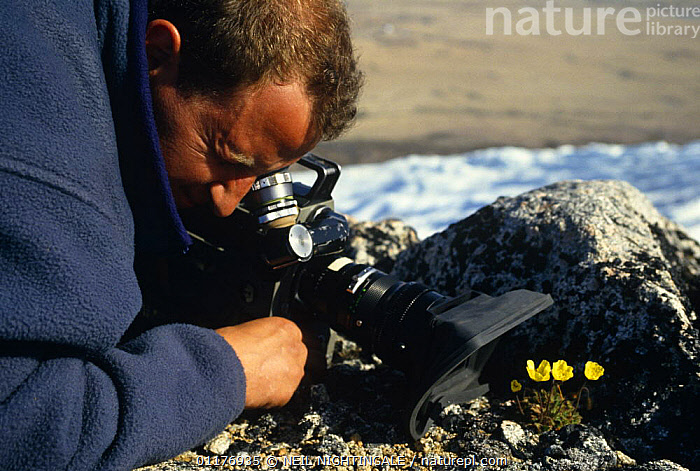 """Cameraman Gavin Thurston filming Arctic poppies on location on Ellesmere Is, Canadian arctic for BBC NHU """"Private Life of Plants"""" 1990s  ,  CAMERA,CANADA,FILMING IN WILD,FLOWERS,PEOPLE,PLANTS,POPPY,SNOW,North America  ,  NEIL NIGHTINGALE"""