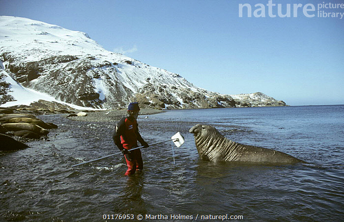 """Cameraman Peter Scoones recording Southern elephant seal on location in Stromness Bay, South Georgia, filming for BBC television series """"Life in the Freezer"""", February 1993  ,  ANTARCTICA,COASTS,FILMING IN WILD,LANDSCAPES,MAMMALS,NHU,PEOPLE,PINNIPEDS,SNOW,SOUND RECORDING,SOUTHERN OCEAN,VOCALISATION  ,  Martha Holmes"""
