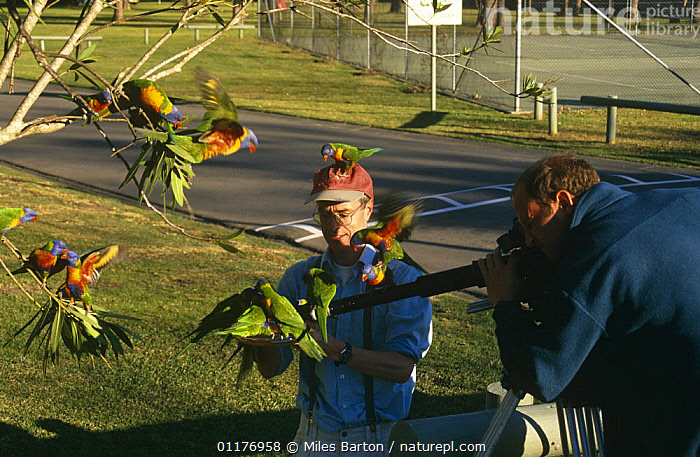 Miles Barton (director) and cameraman filming Rainbow lorikeets on location for BBC television programme 'Life of Birds', 1997  ,  BIRDS,COLOURFUL,FILMING IN WILD,FLOCK,FLYING,GROUPS,HABITUATED,HUMOROUS,LORIKEET,NHU,PARROTS,PEOPLE,URBAN,Concepts  ,  Miles Barton