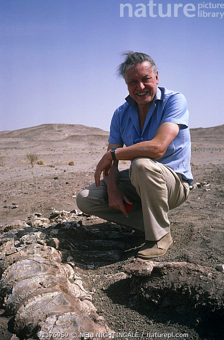 """Sir David Attenborough with Sauropod dinosaur bones, on location for BBC television programme """"Lost worlds, vanished lands"""", Niger, West Africa 1991  ,  BONES,DESERTS,DINOSAURS,FILMING IN WILD,FOSSILS,PEOPLE,PORTRAITS,VERTICAL,WEST AFRICA,Africa  ,  NEIL NIGHTINGALE"""