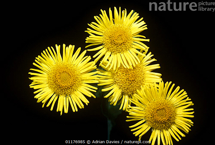 Fleabane flowers {Pulicaria dysenterica} under normal light, sequence 1/2  ,  ASTERACEAE,COMPOSITAE,CUTOUT,DICOTYLEDONS,FLOWERS,FOUR,PLANTS,PORTRAITS,YELLOW  ,  Adrian Davies