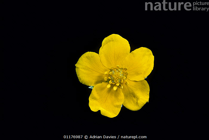 Silverweed flower {Potentilla anserina} under normal light, sequence 1/2  ,  CUTOUT,DICOTYLEDONS,FLOWERS,PLANTS,PORTRAITS,ROSACEAE,YELLOW  ,  Adrian Davies