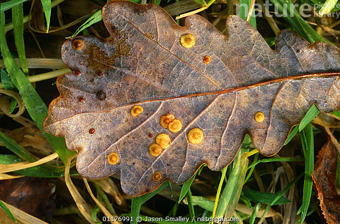 Common spangle galls on oak leaves caused by Spangle gall wasp {Neuroterus quercusbaccarum} Lancashire, UK  ,  DISEASE,EUROPE,GALLS,HYMENOPTERA,INSECTS,LARVAE,LEAVES,PLANTS,UK,United Kingdom,Invertebrates,British  ,  Jason Smalley