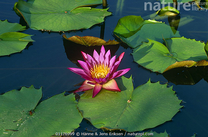 Nature Picture Library - Egyptian lotus flower {Nymphaea