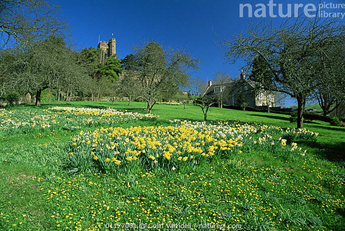 Lesser celandine {Ranunculus ficaria} flowering in garden beside cultivated Daffodils, UK  ,  BUILDINGS,BUTTERCUP,CHURCH,DICOTYLEDONS,FLOWERS,GARDENS,LANDSCAPES,PLANTS,RANUNCULACEAE,SPRING  ,  Colin Varndell