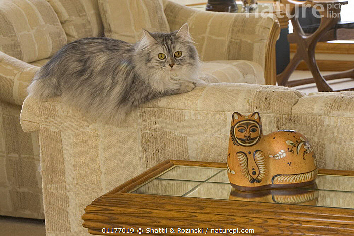 Longhair cat {Felis catus} on sofa with ornament  ,  CATS,FURNITURE,PETS,PORTRAITS,SITTING ROOM,VERTEBRATES  ,  Shattil & Rozinski