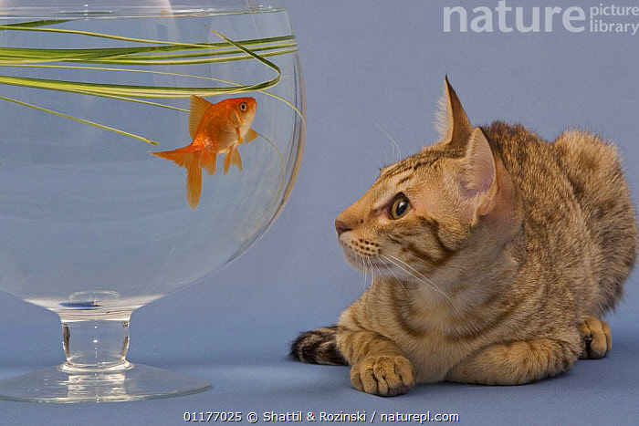 Ocicat kitten {Felis catus} staring at goldfish in bowl  ,  BEHAVIOUR,CATS,FISH,MIXED SPECIES,PETS,VERTEBRATES  ,  Shattil & Rozinski