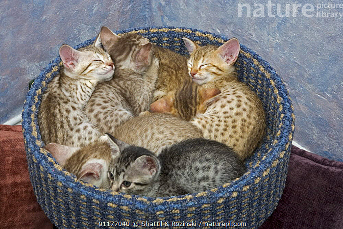 Sleeping Ocicat kittens {Felis catus} in basket  ,  CATS,CUTE,GROUPS,KITTEN,PETS,RESTING,SLEEPING,VERTEBRATES  ,  Shattil & Rozinski