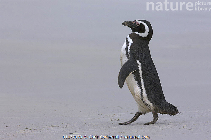 Magellanic penguin (Spheniscus magellanicus) walking on beach. Gypsy Cove, East Falkland Island.  ,  BIRDS,FALKLAND ISLANDS,FLIGHTLESS,PENGUINS,PROFILE,SEABIRDS,SOUTH AMERICA,VERTEBRATES, Seabirds  ,  Chris Gomersall