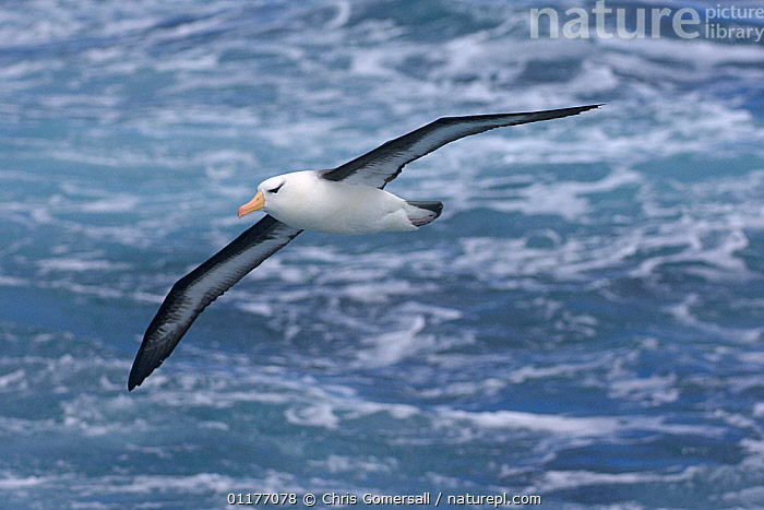 Black-browed albatross (Thalassarche melanophrys) in flight over ocean, Drake Passage, Southern Ocean, Antarctica.  ,  ALBATROSSES,ANTARCTICA,ATLANTIC OCEAN,BIRDS,DIOMEDEA MELANOPHRYS,FLYING,SEABIRDS,VERTEBRATES  ,  Chris Gomersall