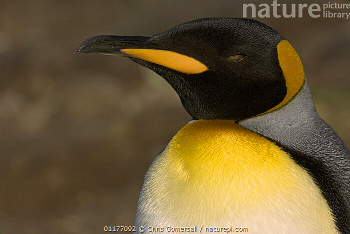 King penguin (Aptenodytes patagonicus) close-up. Right Whale Bay, South Georgia, Antarctica.  ,  ANTARCTICA,BIRDS,FLIGHTLESS,PENGUINS,PORTRAITS,SEABIRDS,VERTEBRATES, Seabirds  ,  Chris Gomersall