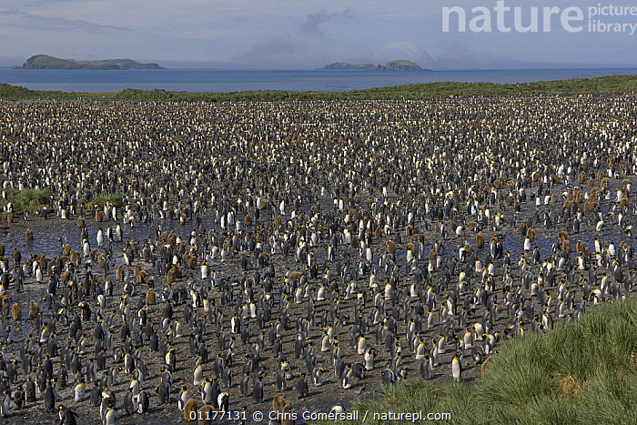 King penguin (Aptenodytes patagonicus) breeding colony at Salisbury Plain, South Georgia, Antarctica. 