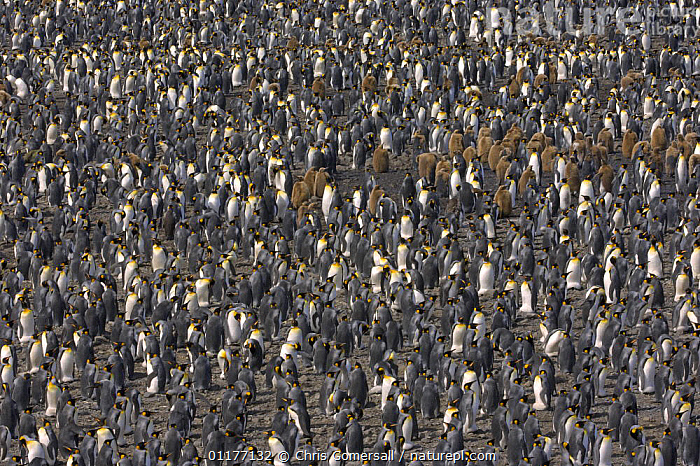 King penguin (Aptenodytes patagonicus) breeding colony with adults and juveniles at Salisbury Plain, South Georgia, Antarctica. January 2007  ,  ABSTRACTS,ANTARCTICA,BIRDS,BREEDING COLONY,CROWDS,FLIGHTLESS,GROUPS,JUVENILE,PATTERNS,SEABIRDS,VERTEBRATES,Penguins, Seabirds,FALKLAND ISLANDS  ,  Chris Gomersall