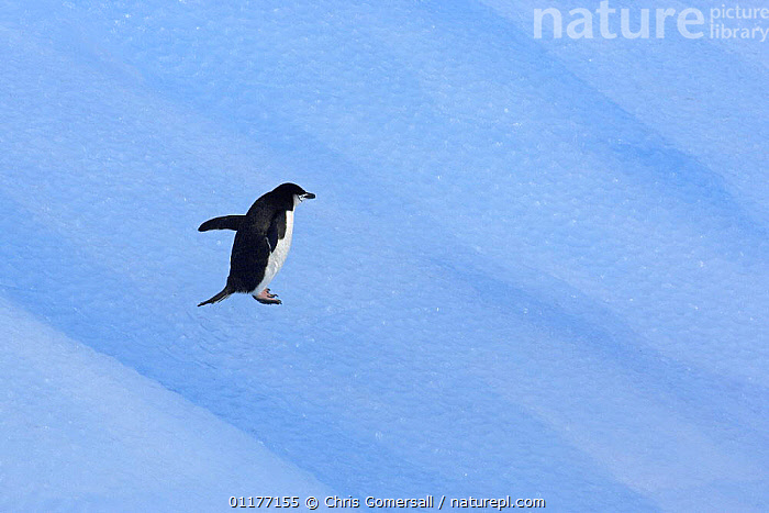 Chinstrap penguin (Pygoscelis antarctica) on blue iceberg. South Orkney Isles, Antarctica., ANTARCTICA,BIRDS,BLUE,FLIGHTLESS,ICE,ICEBERGS,PENGUINS,SEABIRDS,VERTEBRATES, Seabirds, Chris Gomersall