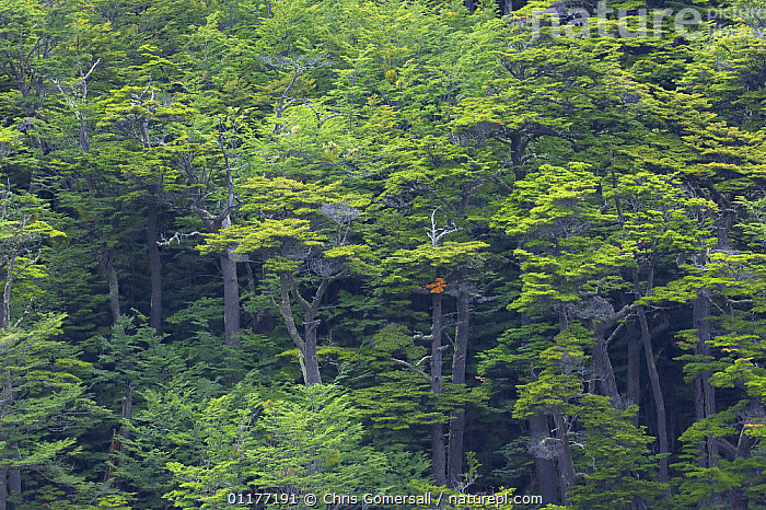 Southern beech (Nothofagus sp.) trees in temperate rainforest. Tierra del Fuego National Park, Argentina.  ,  ARGENTINA,DICOTYLEDONS,FAGACEAE,NP,PLANTS,SOUTH AMERICA,TEMPERATE RAINFOREST,TIERRA DEL FUEGO,TREES,National Park  ,  Chris Gomersall