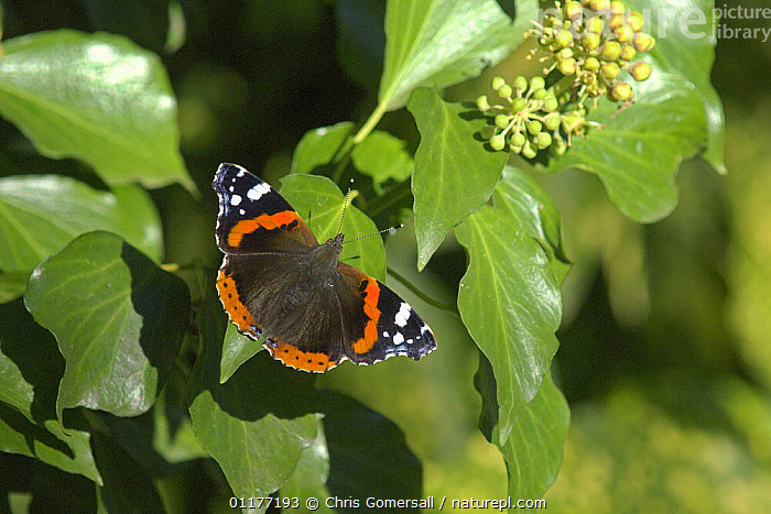 Red admiral butterfly (Vanessa atalanta) nectaring on ivy flower (Hedera helix) Bedfordshire, England.  ,  ARALIACEAE,ARTHROPODS,BUTTERFLIES,CLIMBERS,DICOTYLEDONS,EUROPE,FLOWERS,FOOD PLANT,INSECTS,INVERTEBRATES,IVY,LEPIDOPTERA,PLANTS,UK,United Kingdom,British  ,  Chris Gomersall
