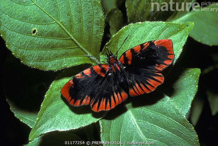 Blood-red skipper butterfly (Haemactis sanguinalis)  in rainforest, Peru  ,  INSECTS,INVERTEBRATES,LEPIDOPTERA,SKIPPER BUTTERFLIES,SOUTH AMERICA,TROPICAL RAINFOREST,Butterflies,CREWS  ,  PREMAPHOTOS