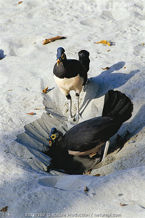 Maleo fowl {Macrocephalon maleo} pair digging nest in sand on beach, Sulawesi, Indonesia  ,  BEACHES,BIRDS,INDONESIA,MALE FEMALE PAIR,MEGAPODES,NESTING BEHAVIOUR,NESTS,SOUTH EAST ASIA,VERTEBRATES,VERTICAL,Asia,Reproduction  ,  Nature Production