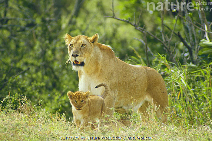 African lion {Panthera leo} lioness with cub, Masai Mara GR, Kenya  ,  BABIES,BIG CATS,CARNIVORES,CUTE,EAST AFRICA,FEMALES,KENYA,LIONS,MAMMALS,MOTHER BABY,VERTEBRATES,Africa  ,  Nature Production