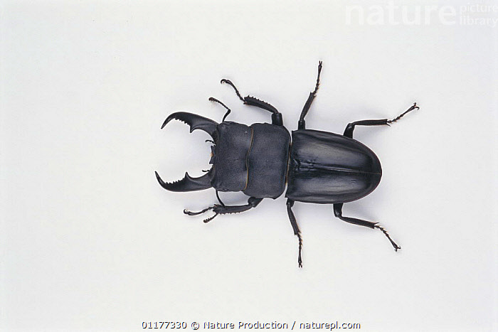 Stag Beetle {Dorcus titanus pilifer} male, Japan  ,  ASIA,BEETLES,COLEOPTERA,CUTOUT,INSECTS,INVERTEBRATES,JAPAN,MALES  ,  Nature Production