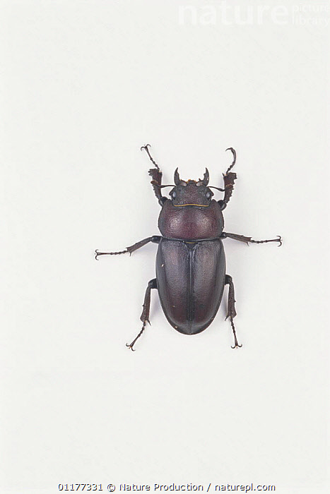 Saw Stag Beetle {Prosopocoilus inclinatus inclinatus} female, Japan  ,  ASIA,COLEOPTERA,CUTOUT,INSECTS,INVERTEBRATES,JAPAN,STAG BEETLES,VERTICAL  ,  Nature Production