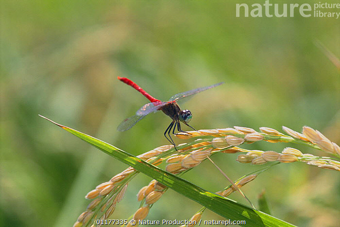 Dragonfly {Sympetrum kunckeli} male, Japan  ,  ASIA,DRAGONFLIES,INSECTS,INVERTEBRATES,JAPAN,MALES,ODONATA,RED  ,  Nature Production