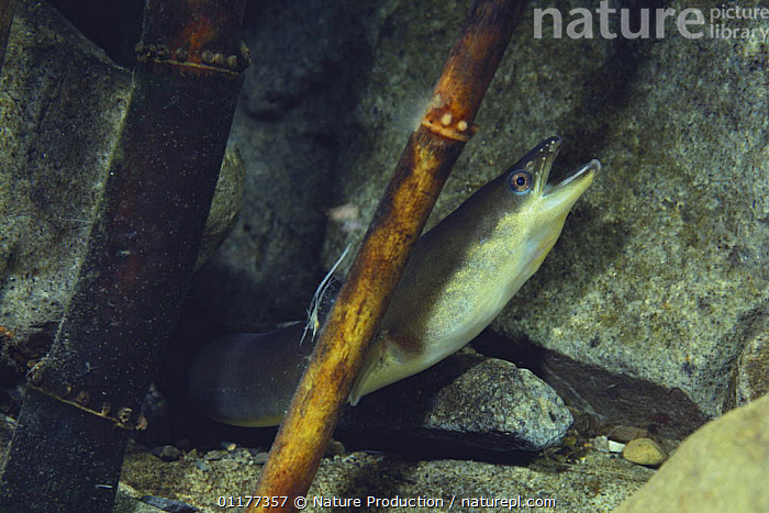 Japanese eel {Anguilla japonica} with its mouth open, Japan  ,  ASIA,EELS,FISH,FRESHWATER,JAPAN,MOUTHS,OSTEICHTHYES,TEMPERATE,UNDERWATER  ,  Nature Production