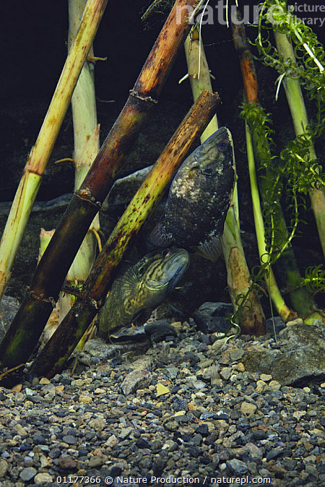 Aucha Perch {Coreoperca kawamebari} female laying eggs on plant stem, male below, Japan  ,  ASIA,BEHAVIOUR,FISH,FRESHWATER,JAPAN,LIFE CYCLE,MALE FEMALE PAIR,OSTEICHTHYES,REPRODUCTION,RIVERS,TEMPERATE,TEMPERATE PERCH,UNDERWATER,VERTEBRATES,VERTICAL  ,  Nature Production