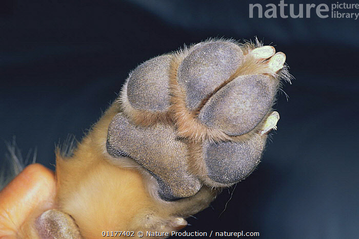 Close up of pads on foot of Golden retriever dog {Canis familiaris} Japan  ,  ASIA,CLAWS,CLOSE UPS,DOGS,FEET,JAPAN,PETS,VERTEBRATES,Canids  ,  Nature Production