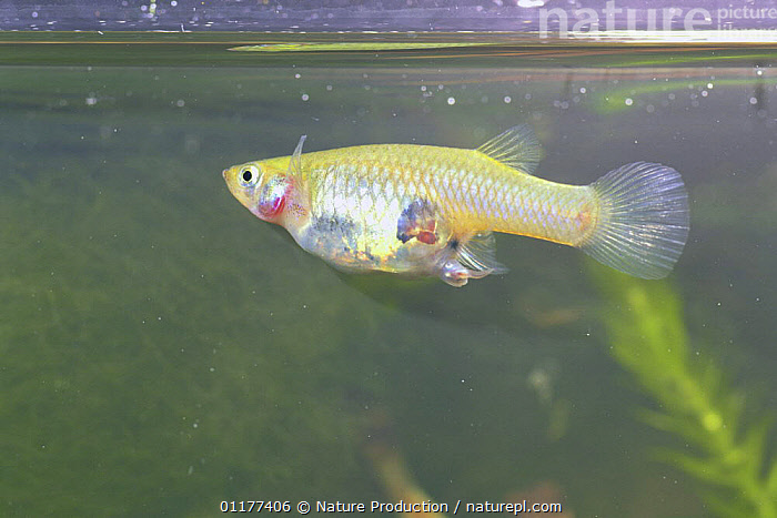 Mosquito Fish {Gambusia affinis} laying eggs, Japan  ,  ASIA,FISH,FRESHWATER,GAMBUSIAS,JAPAN,OSTEICHTHYES,REPRODUCTION,TEMPERATE,UNDERWATER,VERTEBRATES  ,  Nature Production