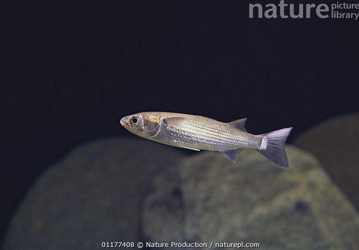 Flathead / Striped Mullet {Mugil cephalus cephalus} Japan  ,  ASIA,FISH,JAPAN,MARINE,MULLET,OSTEICHTHYES,PACIFIC,TEMPERATE,UNDERWATER,VERTEBRATES  ,  Nature Production