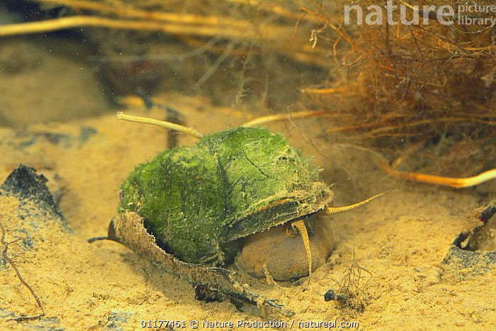 Chinese mystery snail {Cipangopaludina chinensis malleata} female on river bed, Wakayama, Japan, August  ,  ASIA,FRESHWATER,GASTROPODS,INVERTEBRATES,JAPAN,MOLLUSCS,RIVERS,SNAILS,UNDERWATER  ,  Nature Production